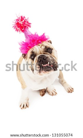 Bulldog wearing a pink birthday hat sitting against a white backdrop with bottom teeth sticking out