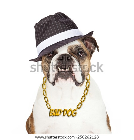 Bulldog wearing Bad Dog gold chain necklace and gangster hat - stock photo