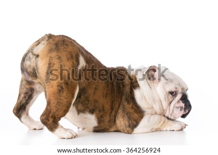 bulldog with backside up in the air  - stock photo