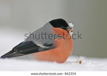 Bullfinch - stock photo