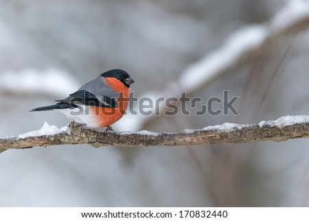 Bullfinch adult male (Pyrrhula pyrrhula) sits on a icy branch in the cold snow winter  - stock photo
