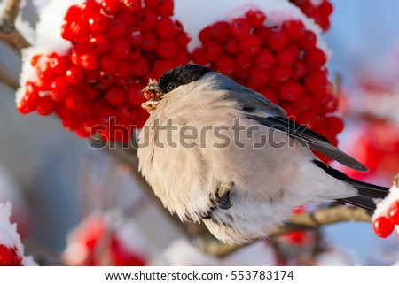Bullfinch eating red rowan berry on blue sky background