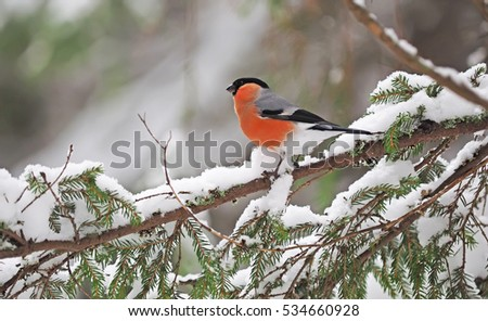 bullfinch in the forest