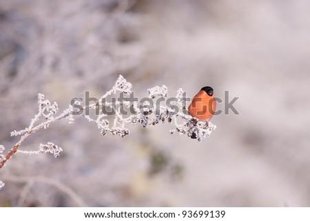 Bullfinch on a frosty branch - stock photo