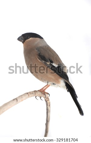 bullfinch on a white background