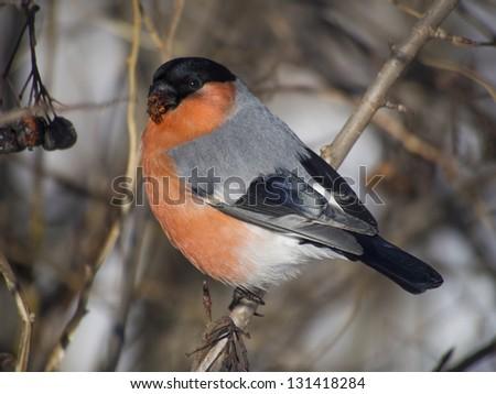Bullfinch on branch - stock photo