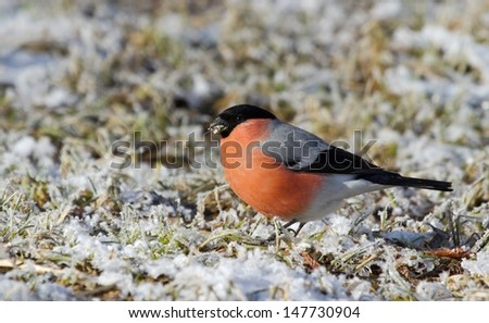 Bullfinch on the covered hoarfrost ground - stock photo