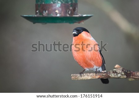 Bullfinch perched on a tree branch and looking at a bird feeder - stock photo