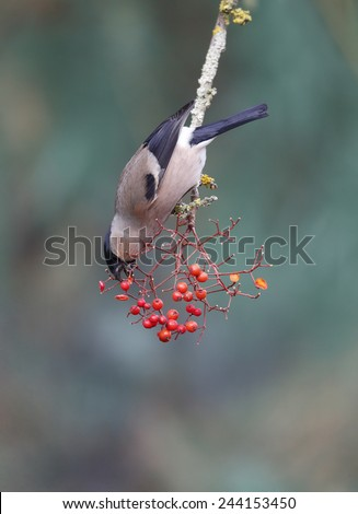 Bullfinch, Pyrrhula pyrrhula, single female on red berries, Warwickshire, January 2015