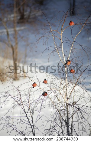 bullfinch sitting on the branches of a birch - stock photo