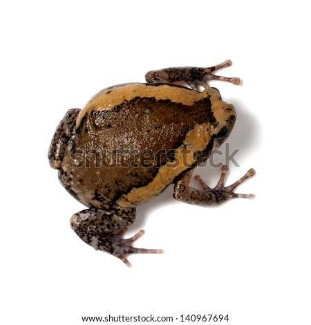 Bullfrog against white background, bird eye view - stock photo