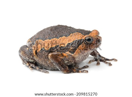 bullfrog isolated on white background - stock photo
