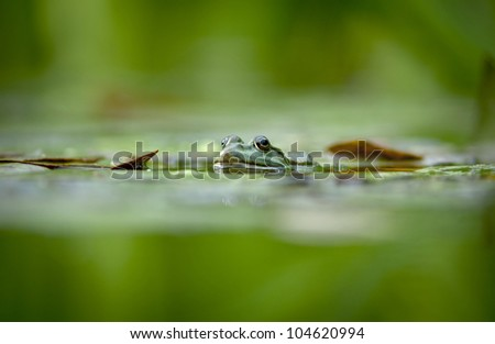 Bullfrog - Pelophylax ridibunda - stock photo