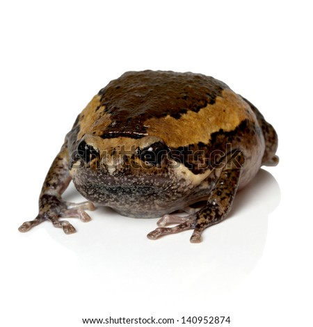 Bullfrog, Rana catesbeiana, against white background - stock photo