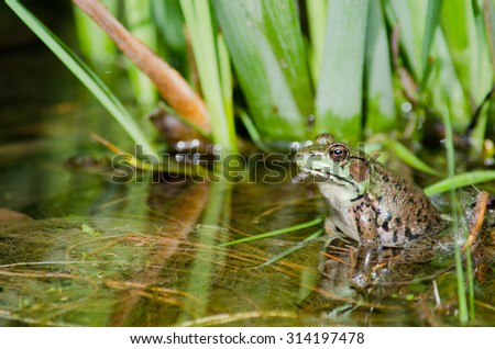 Bullfrog sitting on a log in a swamp. - stock photo