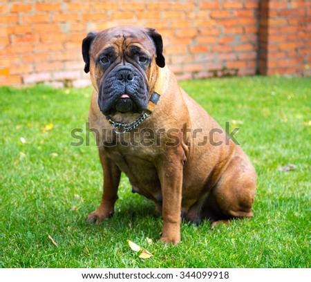 Bullmastiff dog breed sits on a green lawn - stock photo