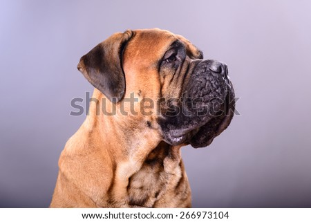 bullmastiff dog portrait close-up on a light background