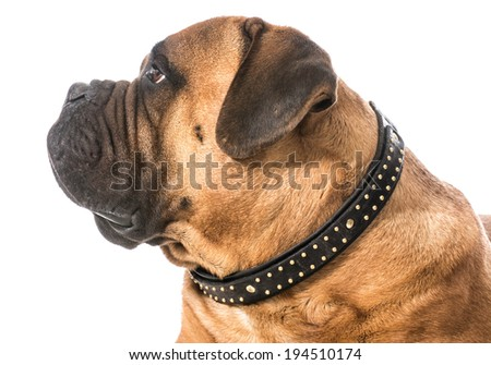bullmastiff male portrait on white background - stock photo