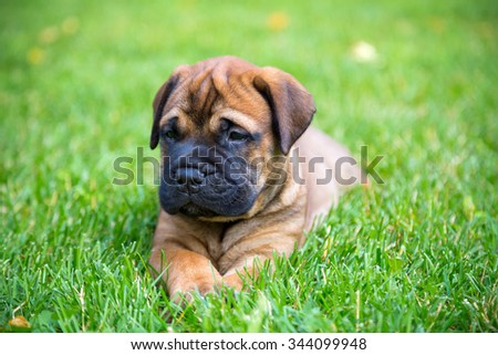 Bullmastiff puppy lying on a green grass - stock photo