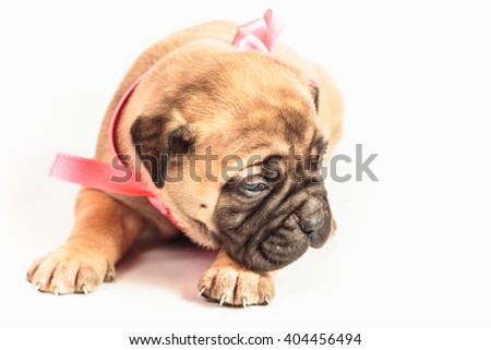 Bullmastiff puppy on  white background