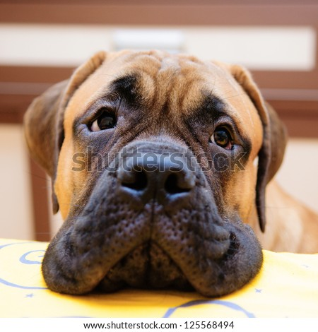 bullmastiff puppy portrait close-up. looks into the camera - stock photo