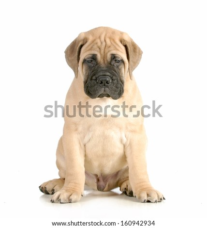 bullmastiff puppy sitting looking at viewer isolated on white background - 8 weeks old - stock photo