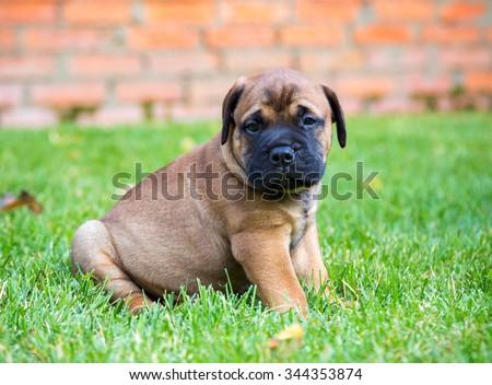 Bullmastiff puppy sitting on a green grass - stock photo