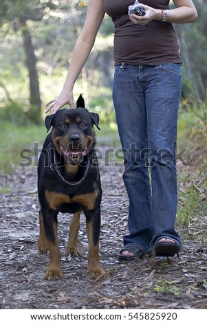 Bullmastiff walking next to owner on forest path