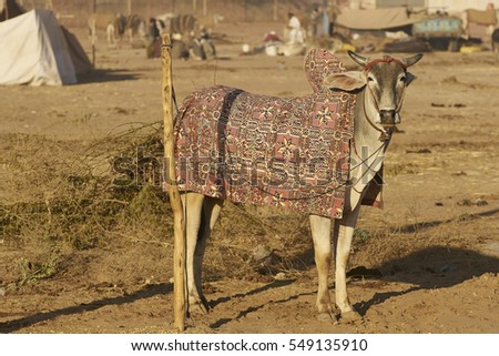 Bullock in colourfully embroidered blanket at the annual Nagaur Livestock Fair in Rajasthan, India