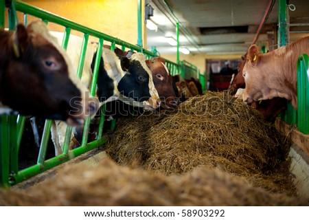 Bulls in a farm - stock photo