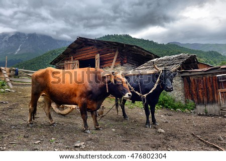 bulls in harness in the mountain village of Svaneti