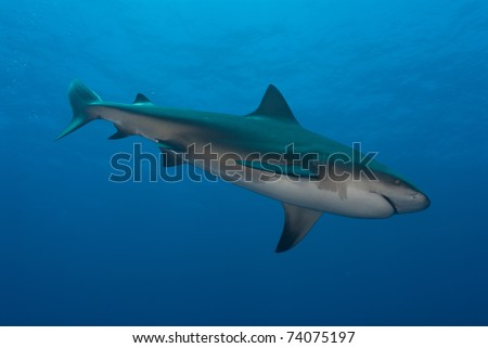Bullshark, side on, Ponto d'Ouro, Mozambique