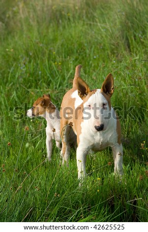 Bullterrier and Jack Russel terrier