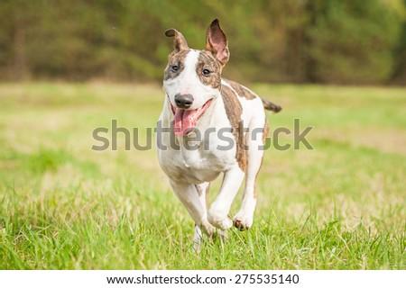 Bullterrier dog running in summer  - stock photo
