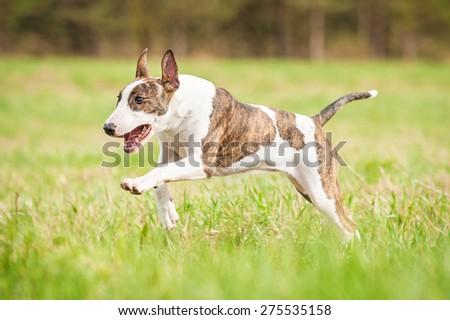 Bullterrier dog running on the field in summer  - stock photo