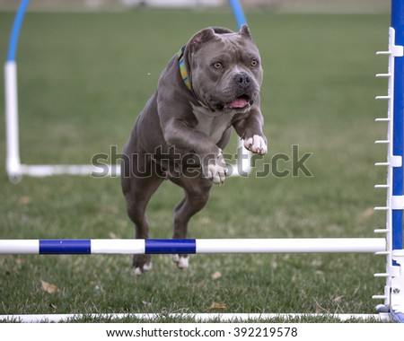 Bully breed jumping over an agility hurdle - stock photo