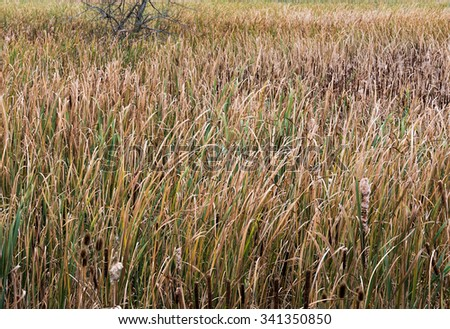 Bulrush Marsh in fall - stock photo