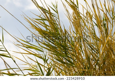 Bulrush on background of cloudy sky - stock photo