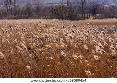 bulrush, reed - stock photo