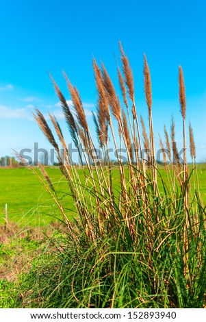 Bulrush with blue sky and green field on background