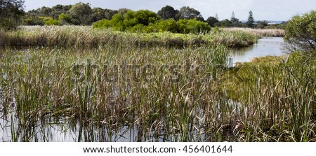 Bulrushes growing in the lake at the  Big Swamp nature reserve Bunbury Western Australia on a fine cloudy  afternoon  in winter provide habitat for water birds tortoises and frogs. - stock photo