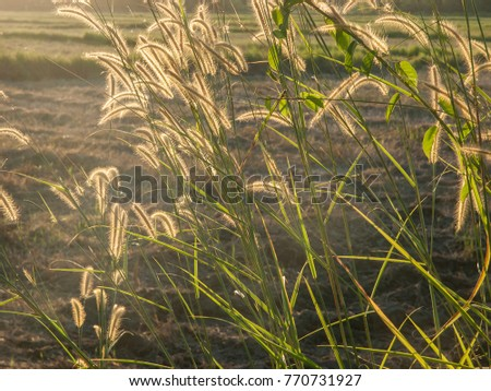 Bulrushes or grass stems backlit by the setting sun, Thailand