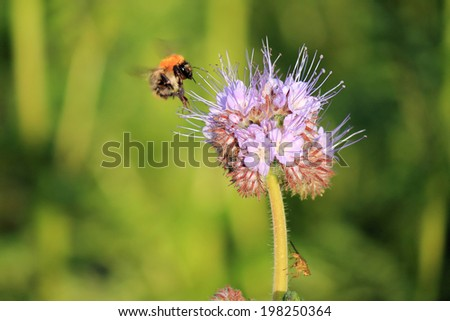 Bumbelbee seeking for nectar, Bombus pratorum - stock photo