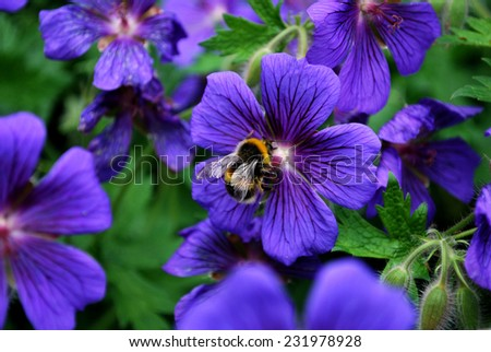 Bumble Bee, Bombus, seeking pollen from some purple flowers - stock photo