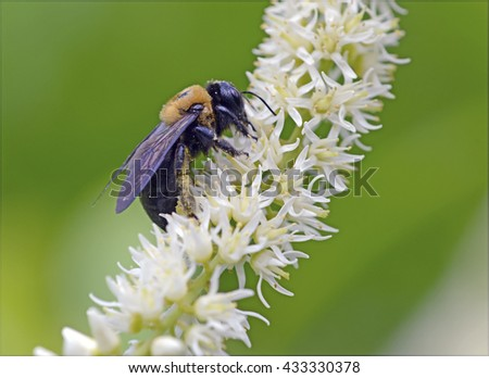 Bumble bee, closeup on flower, are social insects living in colonies of hundreds of bees, though smaller than the population of honeybee hives  - stock photo