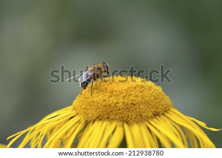 Bumble-bee collects nectar on yellow flower in the wild - stock photo