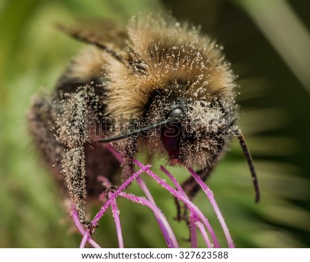Bumble bee covered in pollen on purple thistle - stock photo