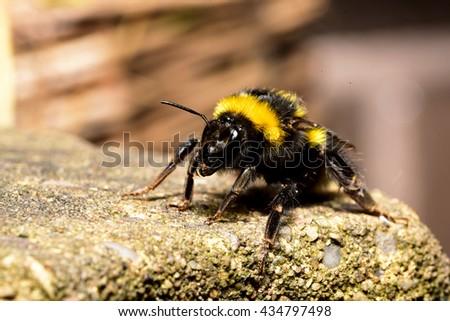 Bumble Bee Crawling on Rock - stock photo