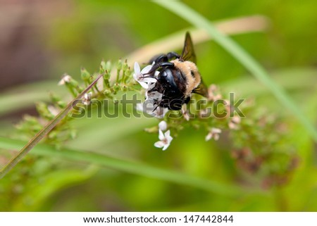 Bumble Bee Extracts Pollen And Nectar From Flowers