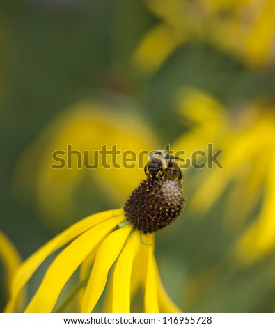 Bumble Bee Gathering Nectar on Yellow Cone Flower - stock photo